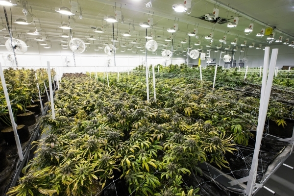 Marijuana plants are shown in the flowering room at the Nevada Organic Remedies marijuana production and grow facility in Las Vegas on Saturday, Jan. 16, 2016. (Chase Stevens/Las Vegas Review-Jour ...