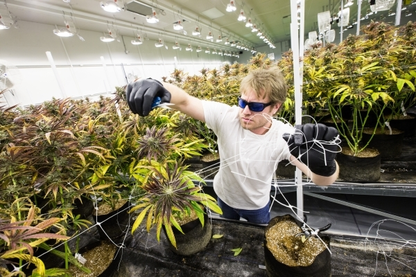 Nevada Organic Remedies employee Scott goes through marijuana plants during the first day of harvesting at the company's marijuana production and grow facility in Las Vegas on Saturday, Jan. ...