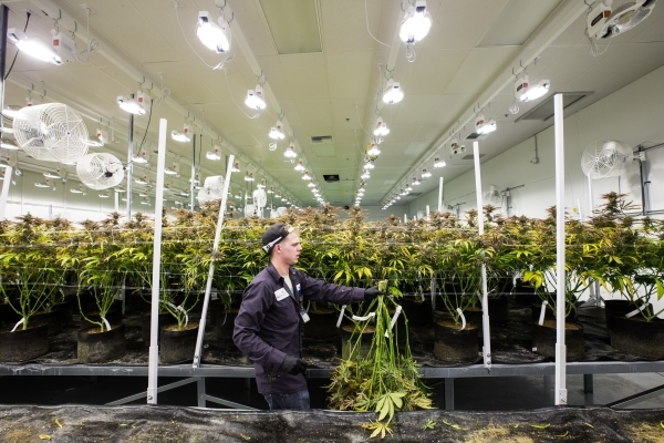 Nevada Organic Remedies employee Gage carries a marijuana plant during the first day of harvesting at the company's marijuana production and grow facility in Las Vegas on Saturday, Jan. 16,  ...