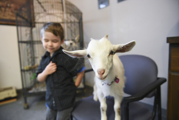 Paul Roger's 4-year-old son, Alexander Rogers, left, plays with their 10-week-old micro-pygmy goat, Reina, in the lobby at Paradise Ranch in Las Vegas, Monday, June 1, 2015. Reina is being t ...