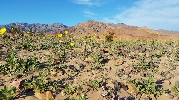 A mix of desert gold and other wildflowers paint the desert near Ashford Mill in southern Death Valley National Park. Wildflowers are already in bloom in parts of the park 100 miles west of Las Ve ...