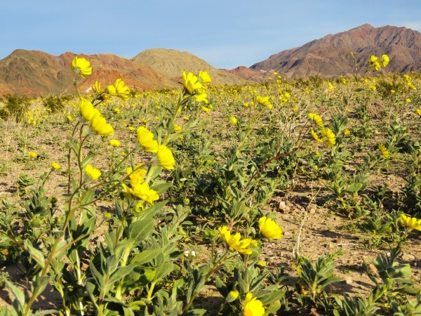 Desert gold carpets the desert near Ashford Mill in southern Death Valley National Park on Wednesday. Wildflowers are already in bloom in parts of the park 100 miles west of Las Vegas, but some ro ...