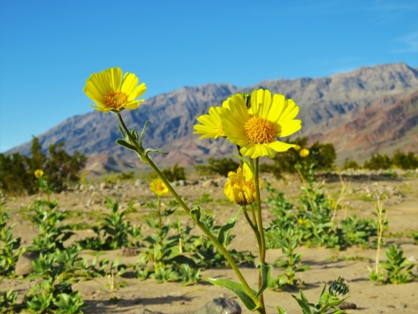 Desert gold, a member of the sunflower family, blooms near Ashford Mill in southern Death Valley National Park Wednesday. Wildflowers are already in bloom in parts of the park 100 miles west of La ...