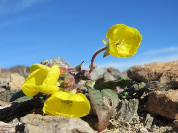 Golden evening primrose blooms among the rocks in southern Death Valley National Park on Wednesday.   Courtesy of Patrick Donnelly/Amargosa Conservancy
