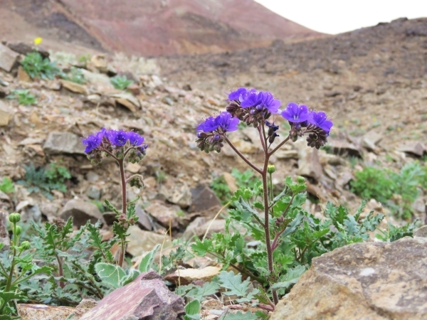 Notch-leaved Phacelia blooms purple near Saratoga Springs in southern Death Valley National Park on Wednesday.   Courtesy of Patrick Donnelly/Amargosa Conservancy