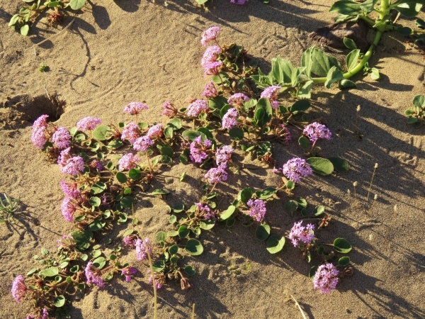 Sand verbena colors southern Death Valley National Park.   Courtesy of Patrick Donnelly/Amargosa Conservancy