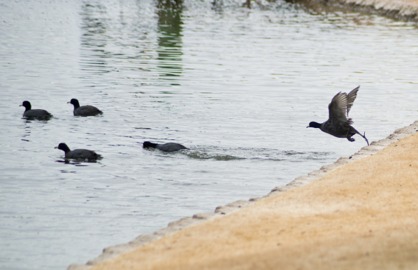 A flock of American coots take a dip in a water hazard at the Royal Links Golf Club in Las Vegas on Monday, Jan. 19, 2016. Daniel Clark/Las vegas Review-Journal Follow @DanJClarkPhoto