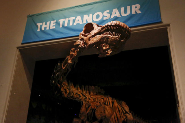 The skeleton cast of a titanosaur is seen during a media preview at the American Museum of Natural History in New York January 14, 2016. The new, 122-foot (37-meter) dinosaur skeleton to be unveil ...