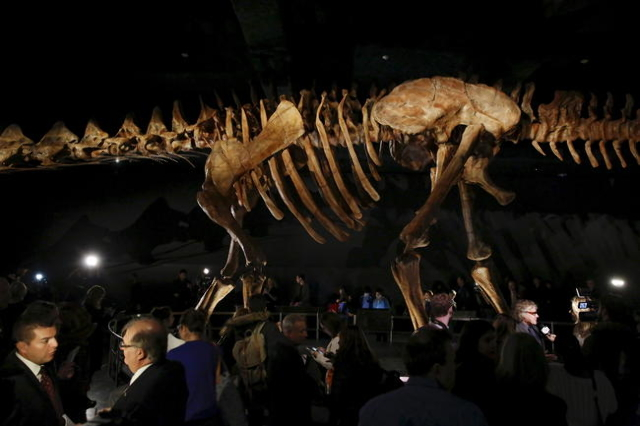 People stand around the skeleton cast of a titanosaur is seen during a media preview at the American Museum of Natural History in New York January 14, 2016. REUTERS/Shannon Stapleton