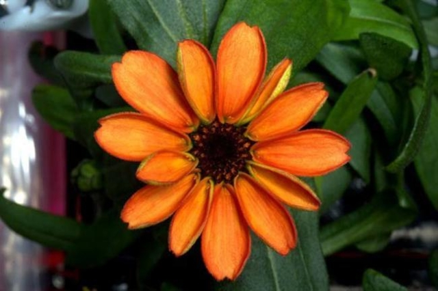 "U.S. astronaut Scott Kelly tweeted a photo of one of the orange flowers, writing: ""First ever flower grown in space makes its debut! #SpaceFlower #zinnia #YearInSpace"". (Scott Kelly/ISS  ..."