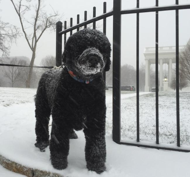 Sunny Obama (the second of the Obamas' Portuguese Water Dogs) in the snow. (CNN)