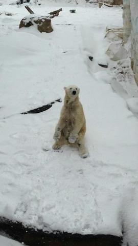 Louisville Zoo. Snow days mean fun days for polar bears. (CNN)