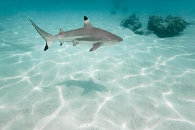 Blacktip shark (Thinkstock)
