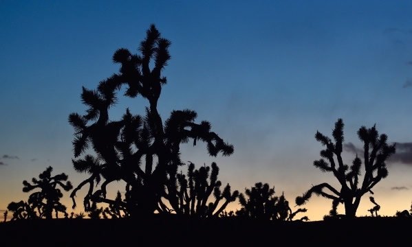 Joshua trees are silhouetted against a glowing sky in the high desert area of the Castle Mountains Monday, Feb. 1, 2016. A 29,000 acre parcel southwest of Searchlight in California is proposed as  ...