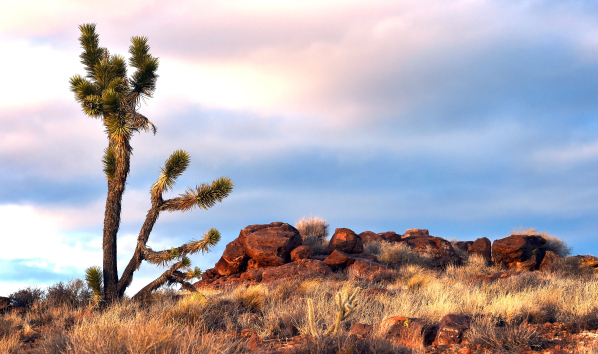 A lone Joshua tree is seen against a glowing sky in the high desert area of the Castle Mountains Monday, Feb. 1, 2016. A 29,000 acre parcel southwest of Searchlight in California is proposed as a  ...