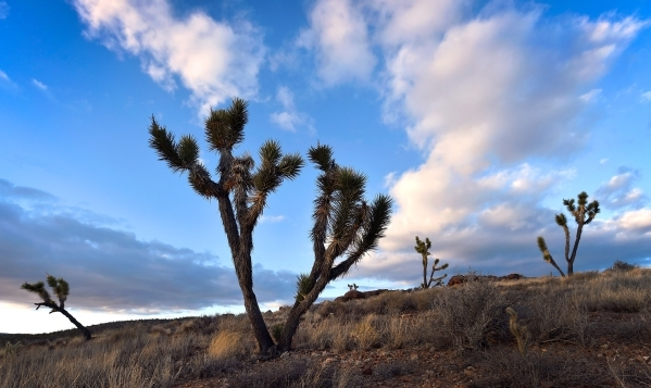 Joshua trees are seen in the high desert area of the Castle Mountains Monday, Feb. 1, 2016. A 29,000 acre parcel southwest of Searchlight in California is proposed as a national monument to protec ...