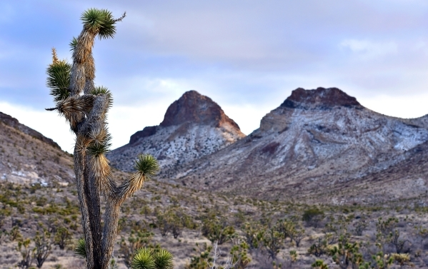 A Joshua tree grows beneath the peaks of the Castle Mountains Monday, Feb. 1, 2016. A 29,000 acre parcel southwest of Searchlight in California is proposed as a national monument to protect an are ...