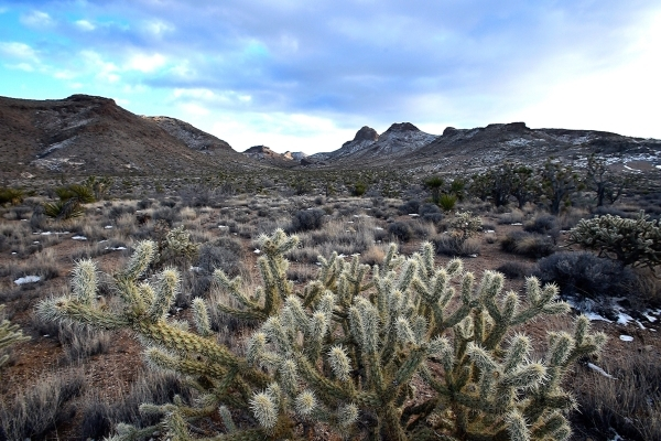 A cholla cactus grows in the shadow beneath the peaks of the Castle Mountains Monday, Feb. 1, 2016. A 29,000 acre parcel southwest of Searchlight in California is proposed as a national monument t ...