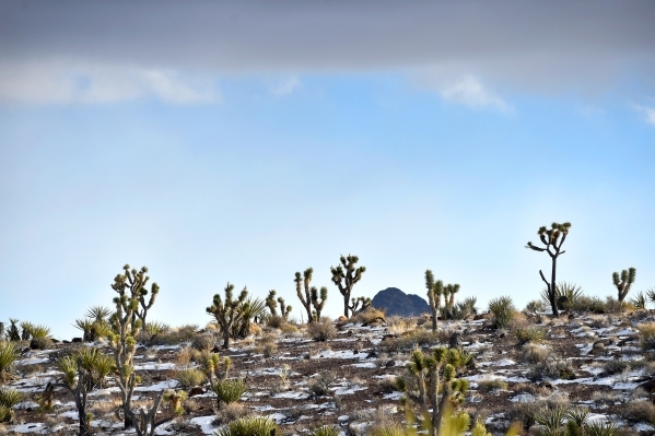 Joshua trees grow in the midst of a peak of the Castle Mountains Monday, Feb. 1, 2016. A 29,000 acre parcel southwest of Searchlight in California is proposed as a national monument to protect an  ...