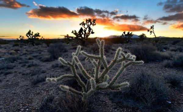 A cholla cactus glows as the sun sets in the high desert area of the Castle Mountains Monday, Feb. 1, 2016. (David Becker/Las Vegas Review-Journal Follow @davidjaybecker)