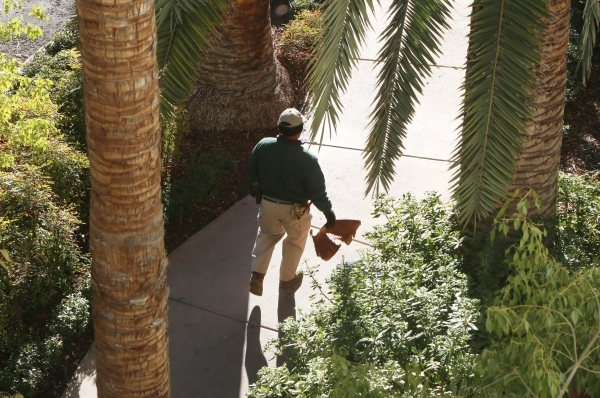 A worker walks through the Treasure Island hotel-casino's garden on Tuesday, Feb. 2, 2016, in Las Vegas. Tuesday's expected high is 46 degrees and the low is just below freezing at 31  ...
