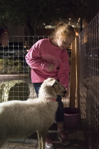 Nine-year-old Emily Thornton feeds a St. Croix Sheep at Youth Outdoor Unity's petting zoo during the First Friday arts festival in downtown Las Vegas' 18b Arts District Friday, Feb. 5, ...