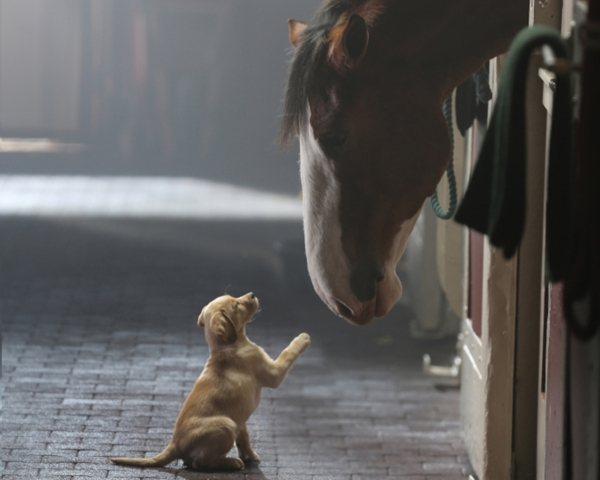 Animals are a staple of Super Bowl advertising, and Anheuser-Busch ads usually rank among the Super Bowl's most-liked ads. COURTESY ANHEUSER-BUSCH