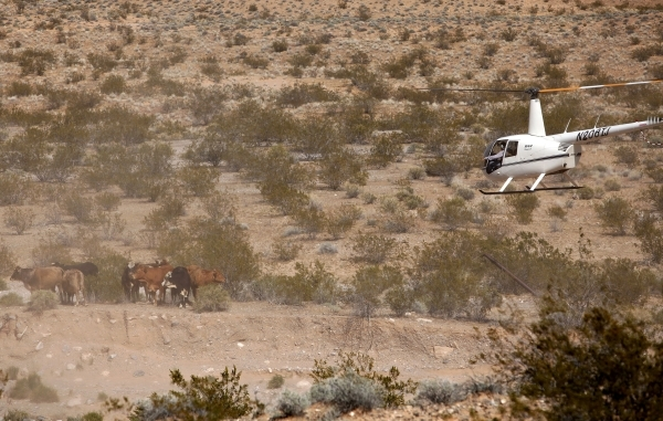 Contractors for the Bureau of Land Management round up cattle belonging to Clive Bundy with a helicopter near Bunkerville Nev. Monday, April 7, 2014, 2014. The Bureau of Land Management has begun  ...