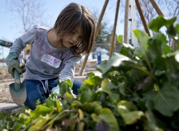 Alicia Olguin Works To Harvest Beets During A Junior Master Gardener  Program For Children At The