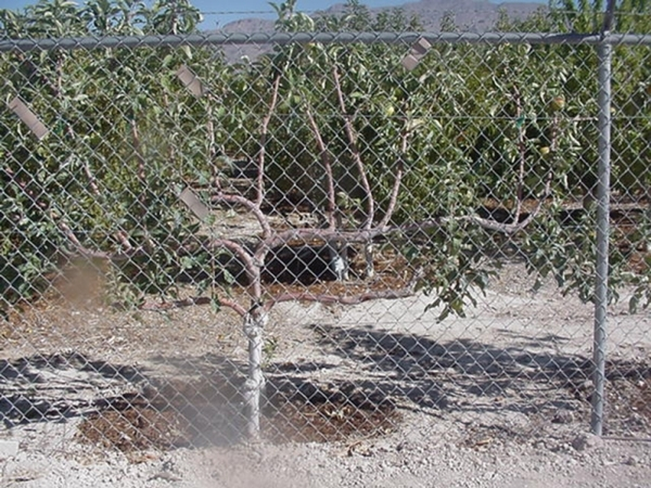 Certain fruit trees can be trellised to fit in a smaller space. Special to View