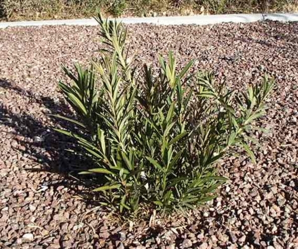 Oleanders can handle a heavy pruning and grow back from the base. Special to View