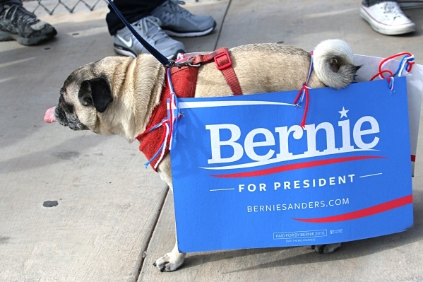 A canine supporter walks outside Bonanza High School at a Bernie Sanders rally in Las Vegas on Sunday, Feb. 14, 2016. Anton/Las Vegas Review-Journal