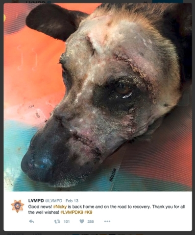 Nicky, a K9 officer with Metropolitan Police Department, is shown in Metro Tweet after surgery for wounds sustained by a machete attack in apprehending a suspect during a standoff.