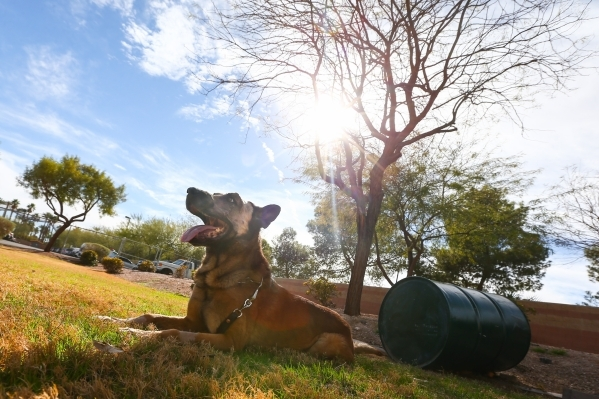 K9 officer Nicky, who was attacked by a suspect with a machete on Friday, bathes in the sunlight at South Central Area Command in Las Vegas on Wednesday, Feb. 17, 2016. Chase Stevens/Las Vegas Rev ...