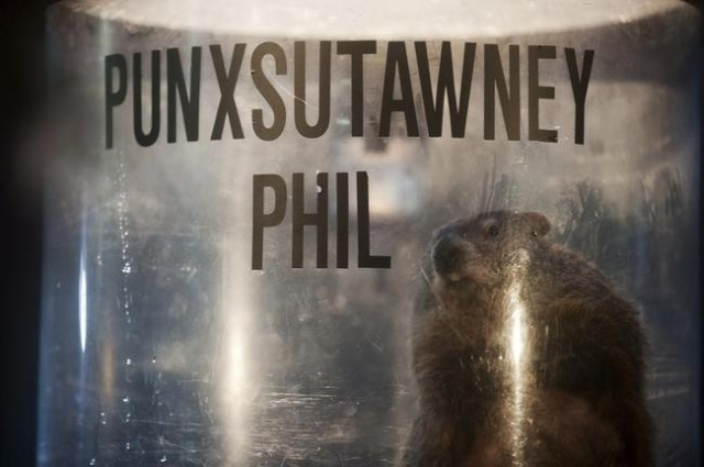Groundhog Punxsutawney Phil peers out of his enclosure onstage after his annual weather prediction on Gobbler's Knob on the 128th Groundhog Day in Punxsutawney, Pennsylvania February 2, 2014 ...