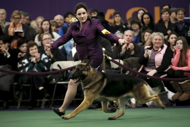 A handler runs a German Shepard in the ring during judging at the 2016 Westminster Kennel Club Dog Show in the Manhattan borough of New York City, February 15, 2016. (Mike Segar/Reuters)