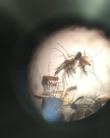 The mosquito Aedes Aegypti as seen through a microscope. The main culprit in the spread of Zika as well as other viruses. (CNN)