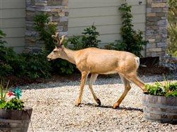 Don't dumb down deer - they're smarter than you think! Outsmart them and protect your yard