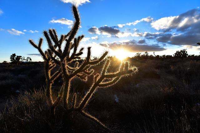 A cholla cactus glows as the sun sets in the high desert area of the Castle Mountains Monday, Feb. 1, 2016. (David Becker/Las Vegas Review-Journal Follow @davidjaybecker)