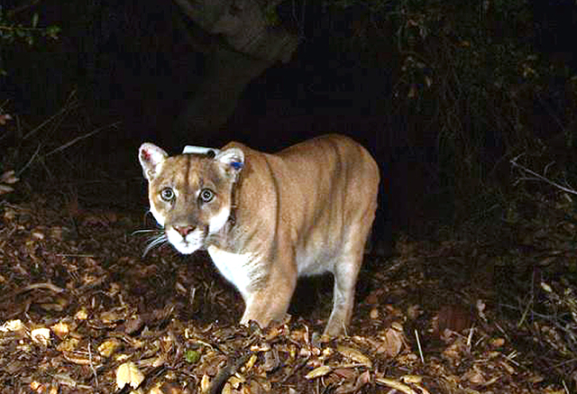 This Nov. 2014 file photo provided by the National Park Service shows the Griffith Park mountain lion known as P-22. (National Park Service/Associated Press)
