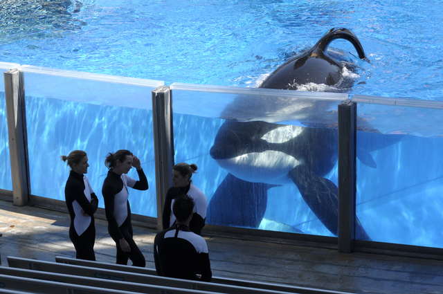 SeaWorld Orlando trainers take a break during a training session with killer whale Tilikum at the theme park's Shamu Stadium in Orlando, Fla., March 7, 2011. SeaWorld is ending its practice of kil ...