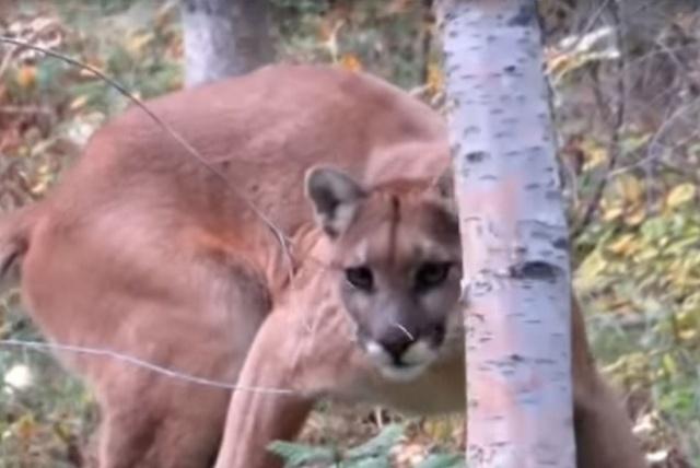 A mountain lion is seen in Montana in 2014. (Daniel Bradford/YouTube)