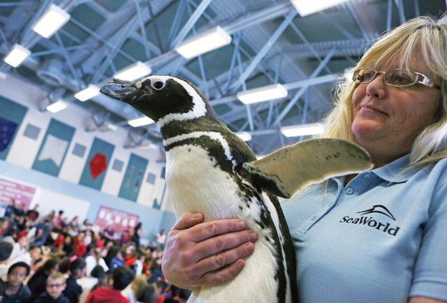 Trudie Erb shows a Magellanic penguin named Pete to children during SeaWorld San Diegoճ SeaWorld Cares program at R. Hummel Elementary School Wednesday, March 9, 2016, in Las Vegas. The outreach  ...