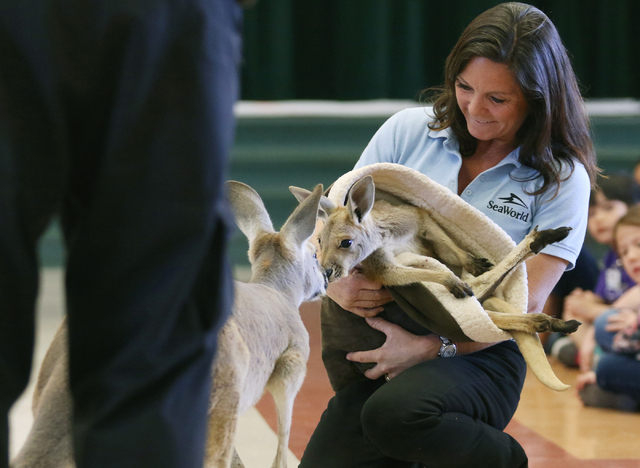 Lisa Jackson holds a baby red kangaroo named Didgeridoo as its mother Cassidy comes by during SeaWorld San Diegoճ SeaWorld Cares program at R. Hummel Elementary School Wednesday, March 9, 20 ...