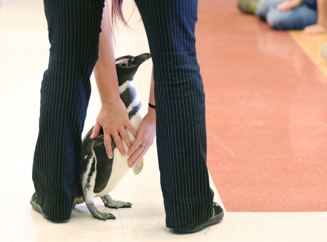 Zandra Albiez steers a small Magellanic penguin named Penny during SeaWorld San Diegoճ SeaWorld Cares program at R. Hummel Elementary School Wednesday, March 9, 2016, in Las Vegas. The outre ...