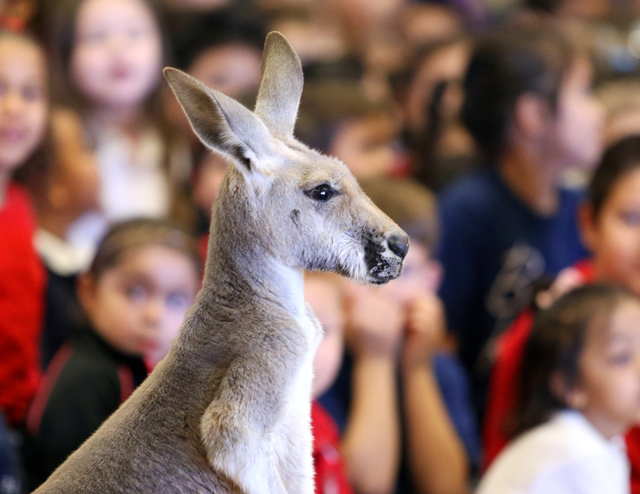 An adult red kangaroo named Cassidy is shown during SeaWorld San Diegoճ SeaWorld Cares program at R. Hummel Elementary School Wednesday, March 9, 2016, in Las Vegas. The outreach program inf ...
