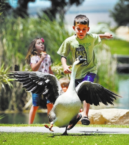 Noah Farnsworth chases some of the waterfowl at Floyd Lamb Park at Tule Springs on Friday, June 5, 2015. The 680-acre park in the northwest valley, features wildlife, lush vegetation, lakes and vi ...