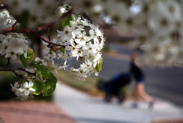 Blooming tree frames around a woman while she pushes a baby carriage at Willows Park on Tuesday, March 1, 2016 (Jeff Scheid/Las Vegas Review-Journal Follow @jlscheid)