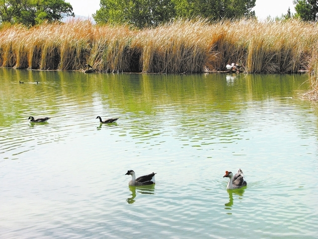 Waterfowl and other wildlife callt Floyd Lamb Park at tule Springs at 9200 Tule Springs Road home. (F. Andrew Taylor/Review-Journal)