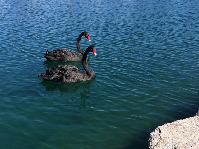 Two black swans swim in the cool waters of Lake Jacqueline Feb. 26. The scene was peaceful, but the community is still reeling from the intentional killing of two adult and two baby swans, as well ...